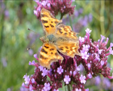 YELLOW BUTTERFLY POLLINATING PURPLE FLOWER (YELLOWBUTTERFLY & PURPLE FLOWER1B) - stock footage