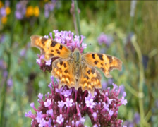 YELLOW BUTTERFLY POLLINATING FLOWER. (YELLOW BUTTERFLY AND PURPPLE FLOWER--1D) Stock Footage