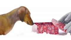 HD - Dog and Christmas gift scene 03 Stock Footage