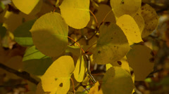 YELLOW FALL LEAVES SHAKING IN WIND Stock Footage