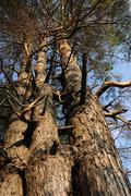 three interlocking pine in the forest - stock photo