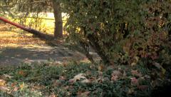 Raking leaves near bush 2 Stock Footage