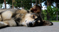 Dog lying on the road Footage