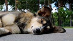 Dog lying on the road Stock Footage