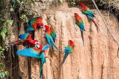 macaws clay lick peruvian amazon jungle madre de dios peru - stock photo