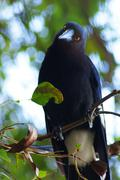 Australian magpie on a tree branch Stock Photos