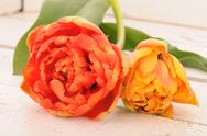 Stock Photo of Orange and yellow tulip