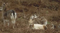White stag grazing with fallow deer, doe's + fouls. Stock Footage