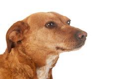 brown cross breed dog - stock photo