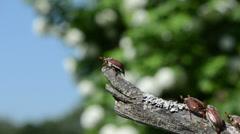 beetles crawls dry branch antennas exploring air and flies - stock footage