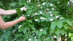 Arm gather small jasmine twigs from the high bush Stock Footage
