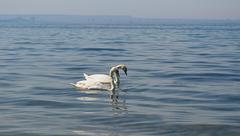 Two white swan. Stock Photos