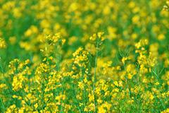 summer background: blooming canola - stock photo