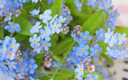 Stock Photo of background of delicate flowers forget-me-not