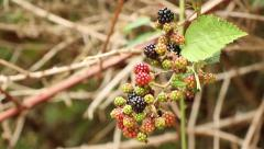 Blackberries Stock Footage