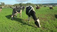 Stock Video Footage of dairy cows in field, terceira island, azores, portugal