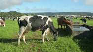 Stock Video Footage of dairy cattle in field, terceira island, azores, portugal