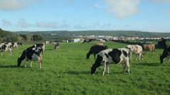 Dairy cattle in field, terceira island, azores, portugal Stock Footage