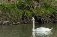 Stock Photo of white mute swan