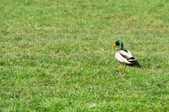 Ordinary duck Stock Photos
