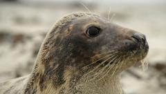 Grey seal super close 11247 Stock Footage