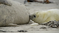 Grey seal pup searching for milk close 11248 Stock Footage