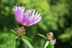 purple thistle flower - stock photo