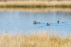 nature fen with wild ducks - stock photo