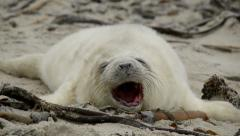 Sweet little grey seal pup yawns 11259 Stock Footage