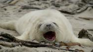 Stock Video Footage of sweet little grey seal pup yawns 11259