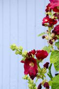 red hollyhocks - stock photo