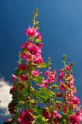 Pink common hollyhock Stock Photos