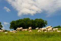 white charolais cows in france - stock photo
