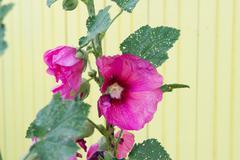 Pink hollyhock Stock Photos