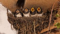 swallows in nest 6, slomo - stock footage