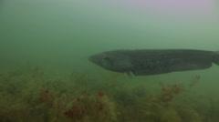 Big catfish in quarry Stock Footage
