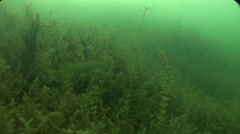 Pike swim between algae in lake Stock Footage