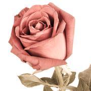 Romantic vintage rose. Stock Photos