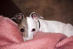 Alert italian greyhound resting on pink blanket Stock Photos