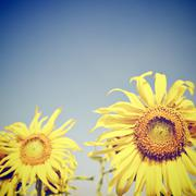 Sunflowers against blue sky with retro filter effect Stock Photos