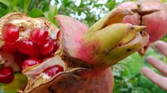 Harvesting pomegranates Stock Footage