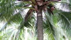 Closeup to green coconut fruit trees Stock Footage