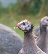 Three month old guinea fowl head closeup Stock Photos