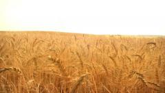 Stock Video Footage of Crane Shot over ripe Wheat field.