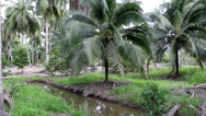 Stock Video Footage of closeup to green coconut fruit trees