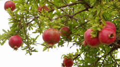 Pomegranate tree Stock Footage