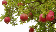 Stock Video Footage of pomegranate tree