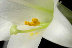 Closeup of stamen and pollen in an easter lily (lilium longiflorum) Stock Photos
