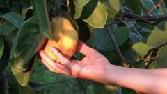 Harvesting a quince Stock Footage