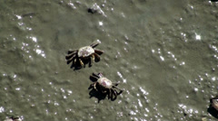 Closeup of small crabs in the mud Stock Footage